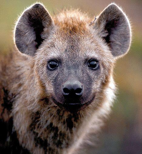 how to make hyena ears