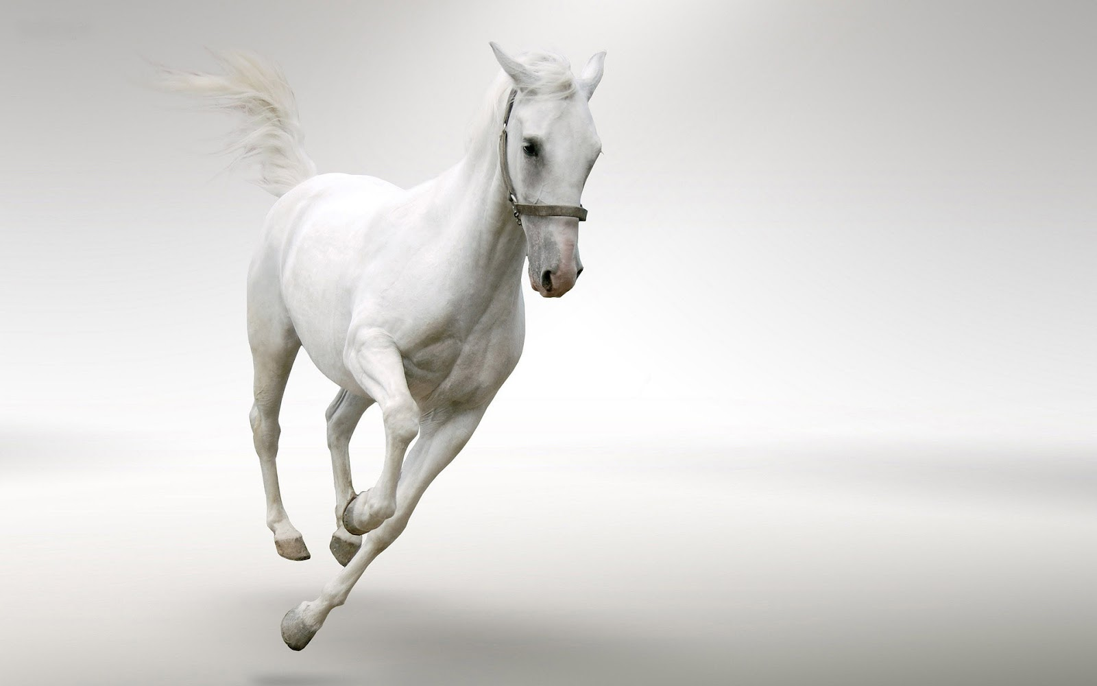 White Images Stunning White Horse Hd Wallpaper And Background Photos