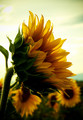 Sunflower  - flowers photo