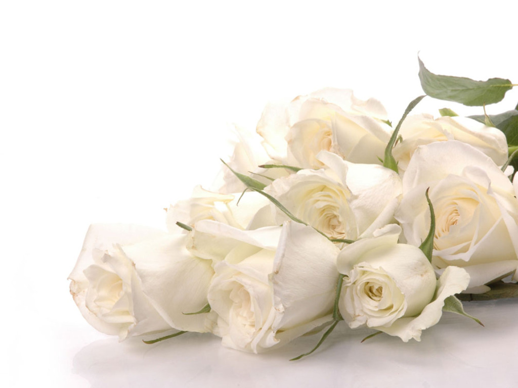 White rose white wallpaper 34727333 fanpop
