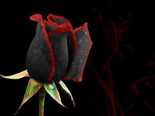 black&red rose
