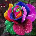 colorful roses - flowers photo