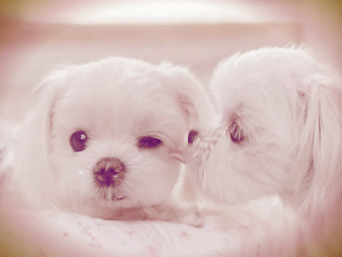 Puppies wallpaper containing a maltese dog entitled cute puppies
