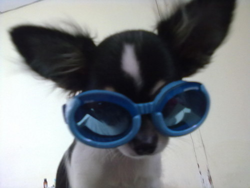 Chihuahuas 壁紙 containing sunglasses titled junpei1