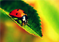 lady bug - ladybugs photo