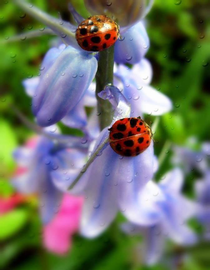 Ladybugs beautiful pictures photo 34779128 fanpop for Beautiful pictures