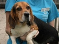 Beagle and Basset Hound Mix! - dogs photo