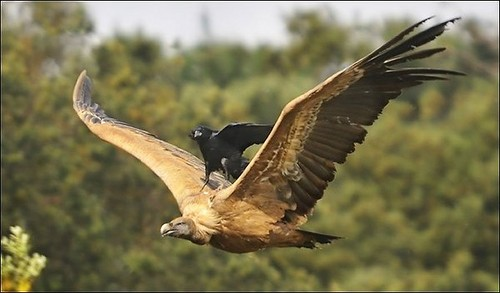 Raven catching a ride