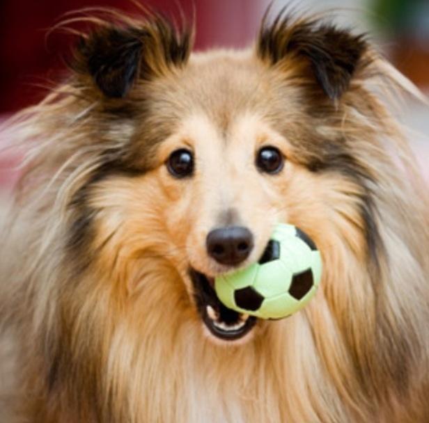 Dogs shetland dog