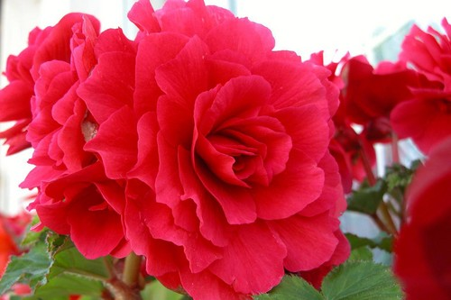 Flowers Wallpaper With A Begonia Camellia And Rose Titled Amazing