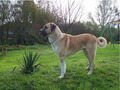 animals in turkey-kangal - animal-rights photo