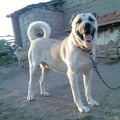 animals in turkey-kangal