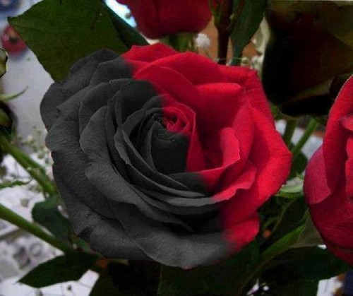 fiori wallpaper with a camellia, a begonia, and a rose entitled black/red rose