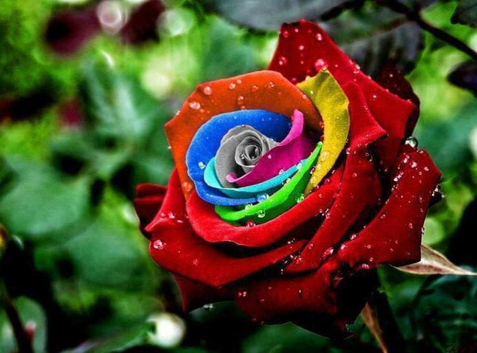 Самая красивая роза цветок