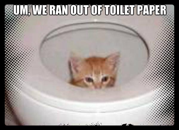 kitten in toilet