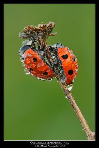 ladybug bức ảnh