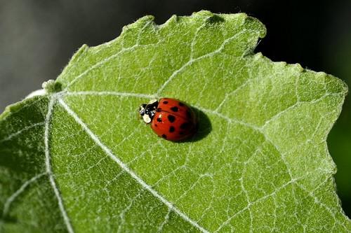 ladybug picha