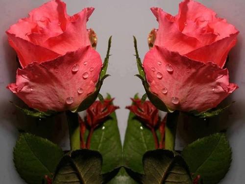 rosa rosebuds