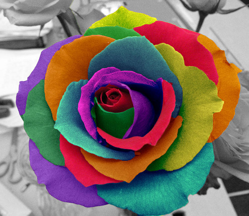 fiori wallpaper with a rose, a camellia, and a rose entitled arcobaleno rose