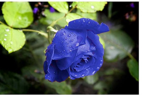 rained blue rose