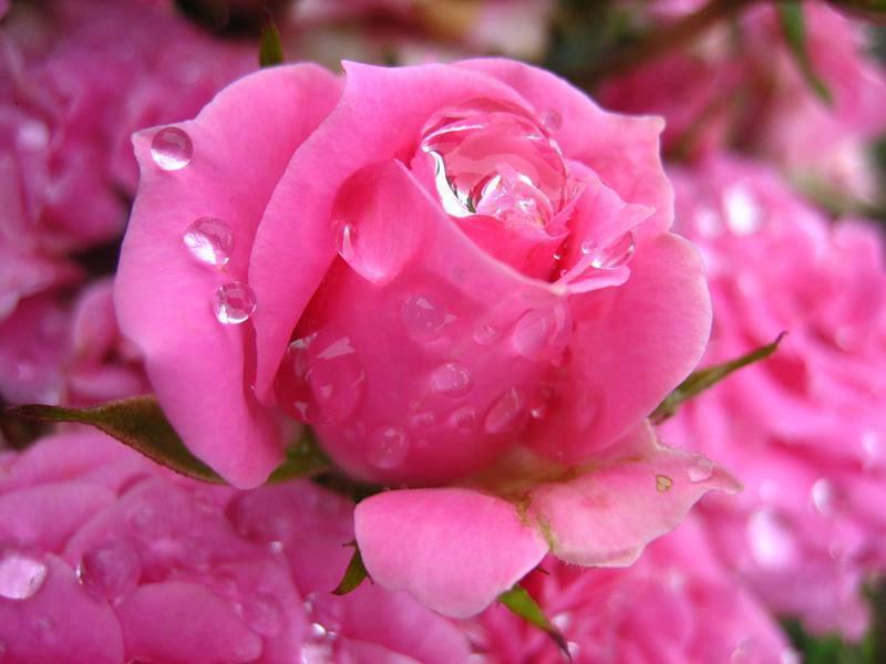 rained berwarna merah muda, merah muda rose