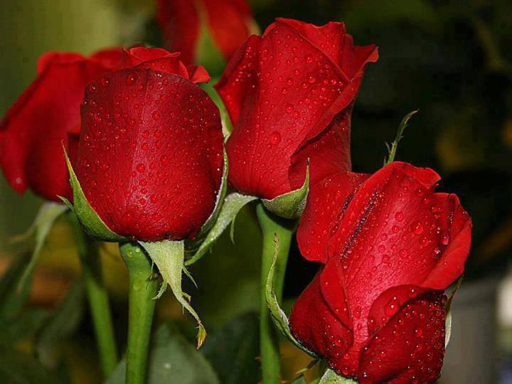 red roses are the best !