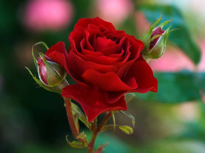 Flowers images red roses are the best hd wallpaper and for Images of the best