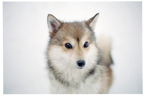کتے husky!!!!♥♥♥♥♥♥♥♥♥♥♥♥♥♥♥♥♥♥I love huskys :)