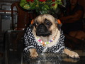 Chintamani - pugs photo