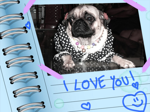 Pugs wallpaper possibly containing a pug titled Chintamani