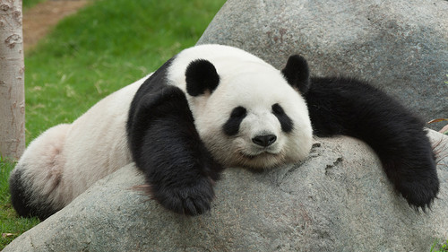 जानवर वॉलपेपर possibly with a giant panda entitled Cute Panda Bears