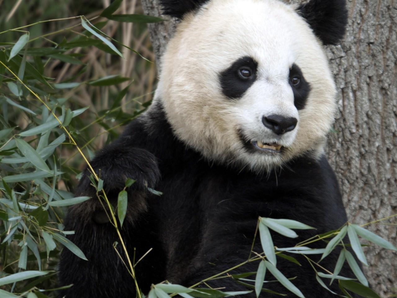 cute panda bears grizz...