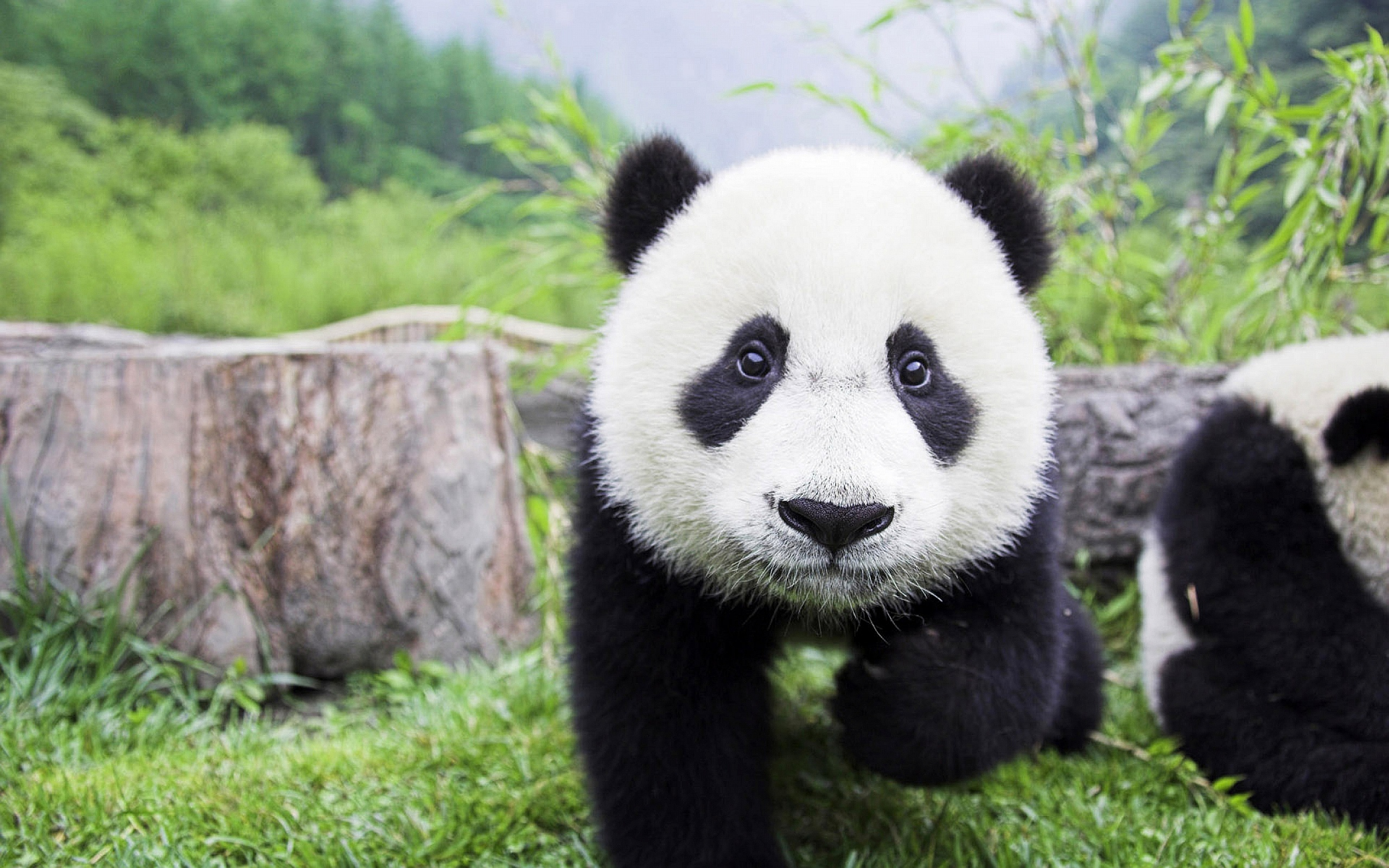 Cute Panda Bears - Animals Photo (34915025) - Fanpop
