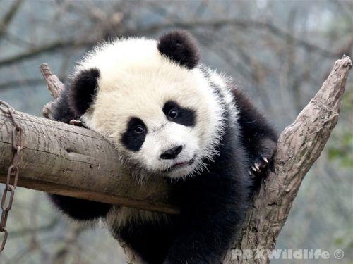Cute Panda Bears