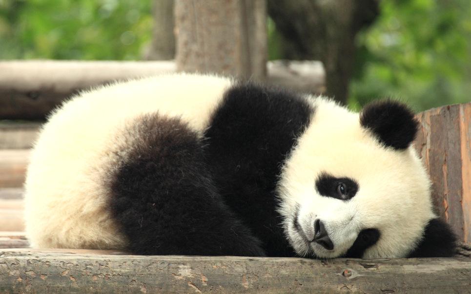 Pondering Panda: Cute Panda Pictures