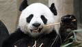 Cute Panda Bears - animals photo