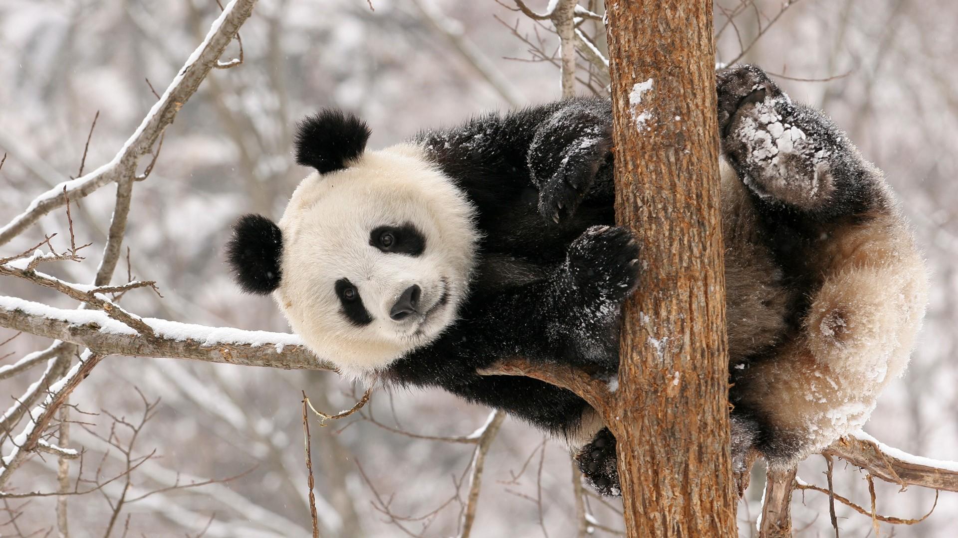 壁纸 大熊猫 动物 狗 狗狗 1920_1080