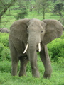 Elephant - animals photo