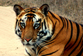 Handsome Tiger - animals photo