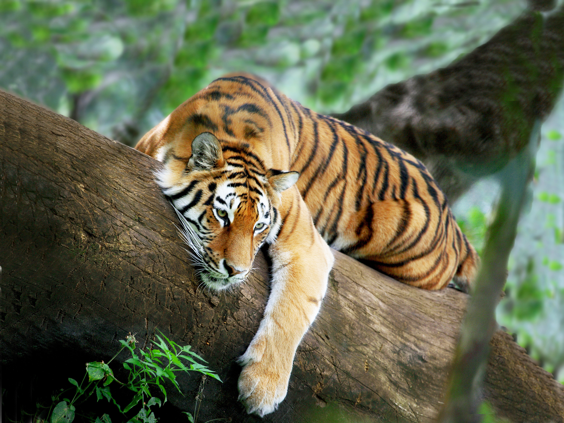 Animals Handsome Tiger