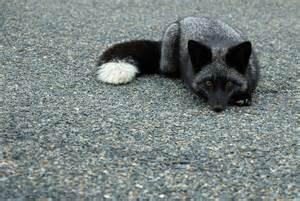 Kekewey Keke Wild Silver Fox Russia Gave Den