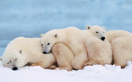 जानवर वॉलपेपर with an ice भालू titled Polar Bears