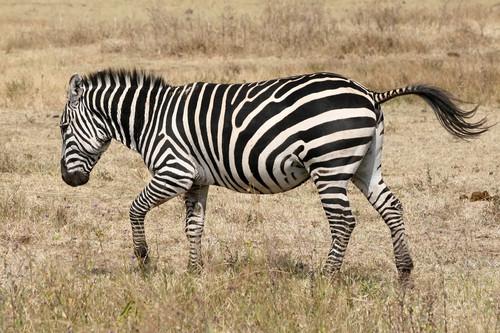 zèbre, zebra