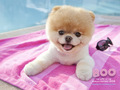 this is the real official worlds cutest dog, Boo!!! (thats its name, im not trying to scare you!!!)