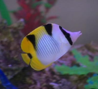Cleo's pet fish- Hotstuff