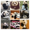 Collage of pandas