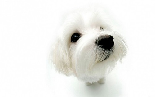 Hunde Hintergrund containing a maltese dog entitled Dog