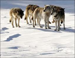 mga lobo