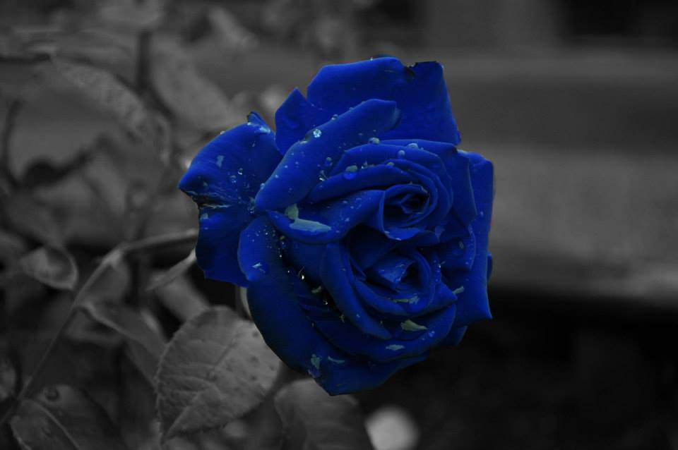 Flowers Images Blue Rose Hd Wallpaper And Background Photos 35063097