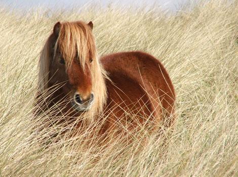 Adorable Shetland ٹٹو